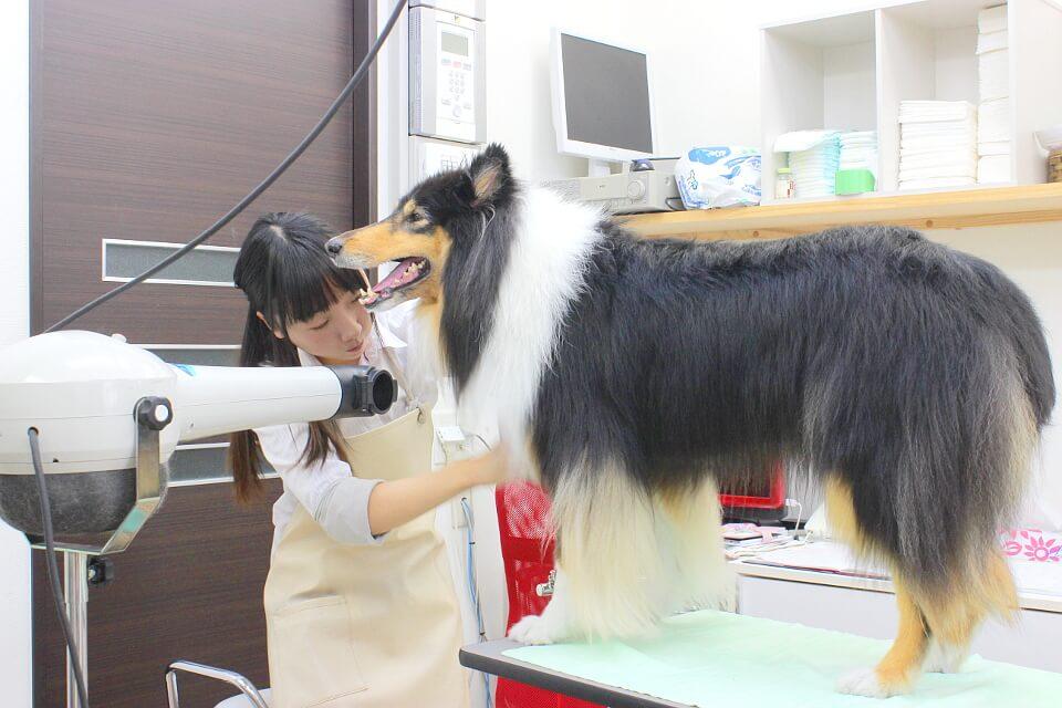 犬の美容室アスティ 蘇我店 トリミング中写真