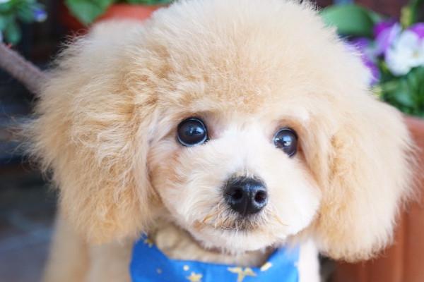 Dog Grooming chou chou.