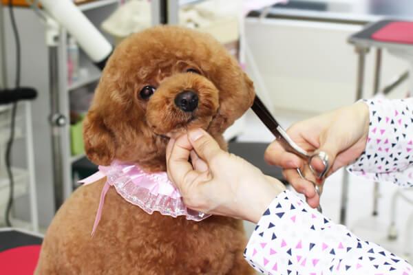 とりみんぐさろん TEDDY♡POOのトリミング画像