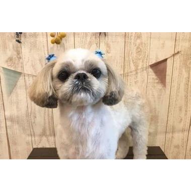Dog Salon Pixie Bob