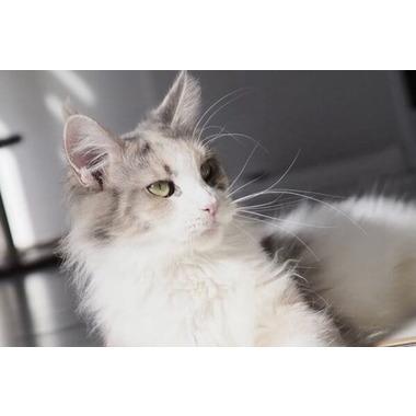 cat`s groom FLUFFY